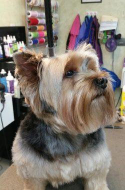 cairn-terrier-groomed